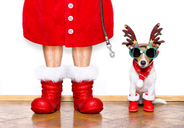 christmas santa claus dog christmas  santa claus  jack russell dog isolated on white background with reindeer  hat and red boots for the holidays waiting and sitting to go for a walk with leash funny christmas stock pictures, royalty-free photos & images