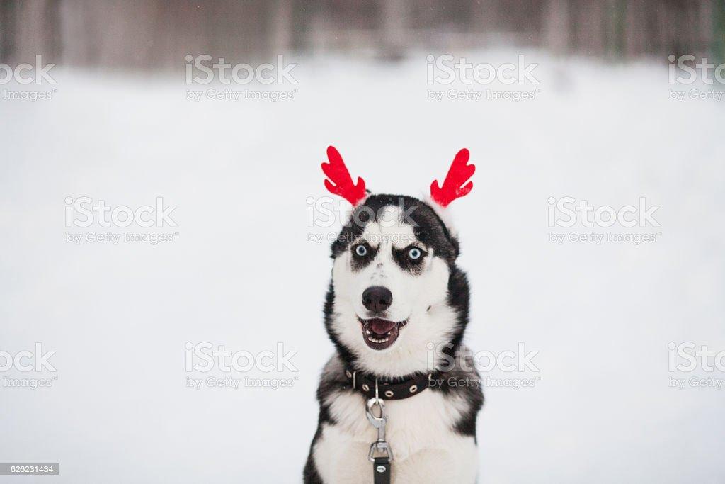 Husky Christmas Puppy.Christmas Siberian Husky Puppy Stock Photo Download Image