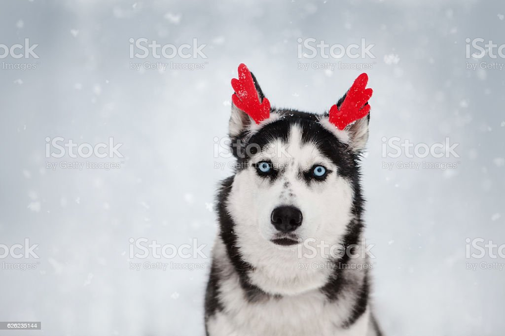 photo de stock de christmas siberian husky puppy images libres de