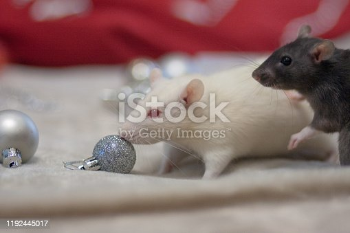 1206982378 istock photo Christmas smell concept. The mouse is a symbol of the 1192445017