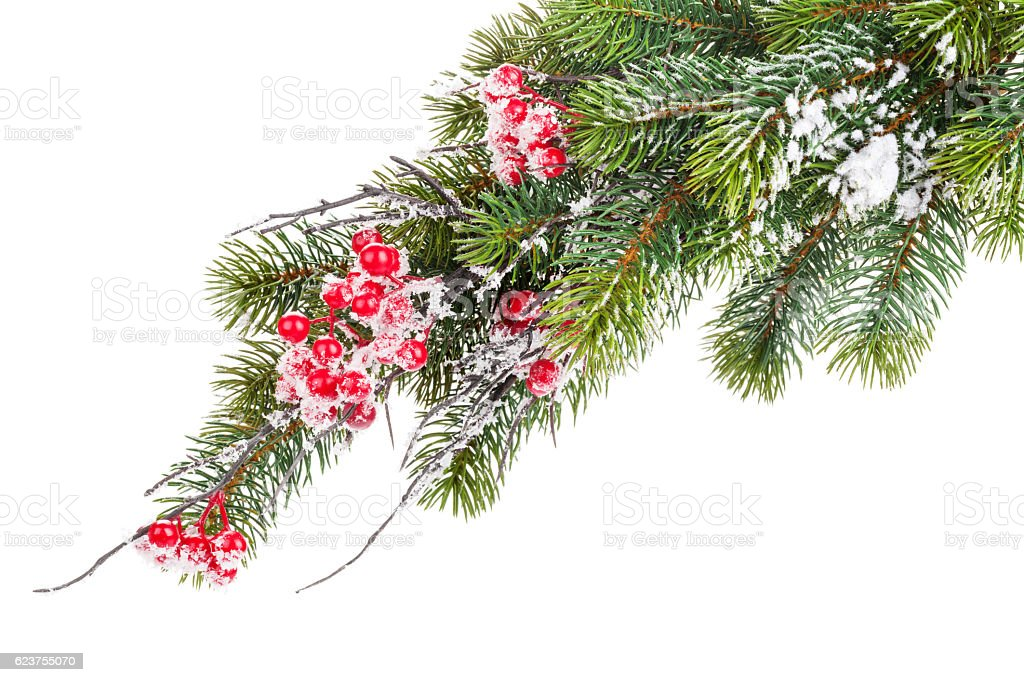 Christmas snow fir tree with holly berry stock photo