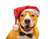 istock Christmas Staffordshire Terrier in a red Santa Claus hat on a white background, isolate 1269563728