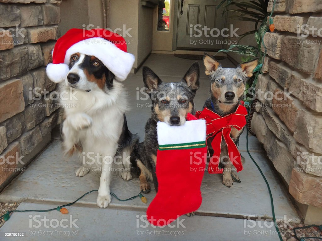 Christmas Themed dogs with decorations stock photo