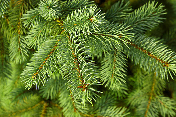 Christmas tree backgound stock photo