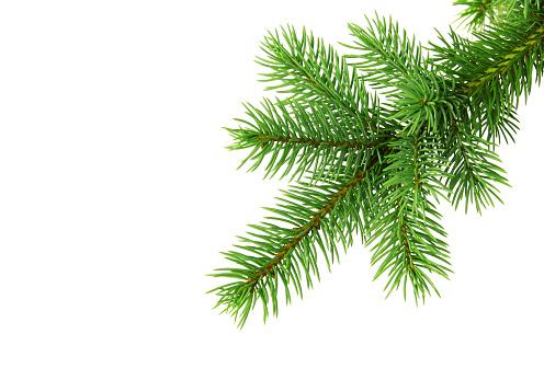 Christmas tree branch od white backgound