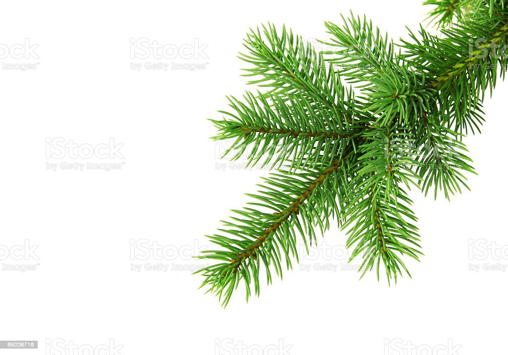 Christmas tree branch od white backgound stock photo