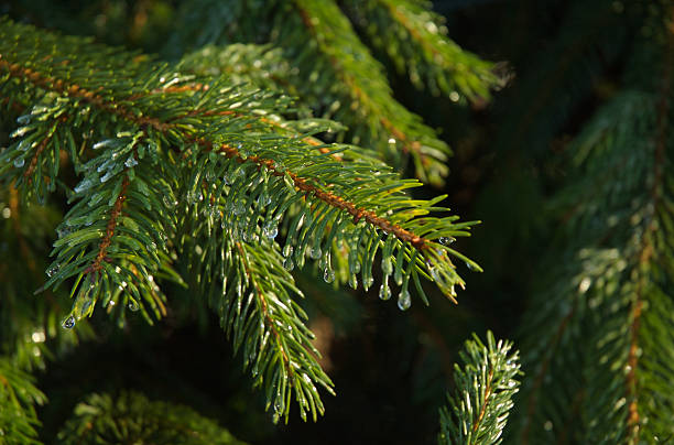 Christmas tree branch with droplets stock photo