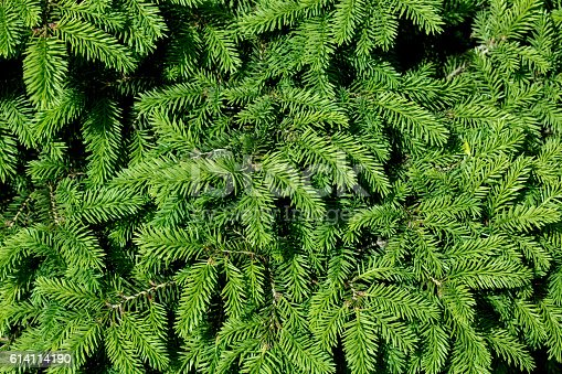 Background of green Christmas tree branches