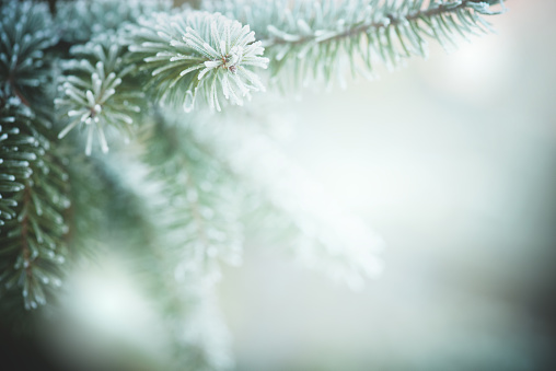 Christmas tree branches with frost