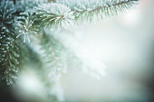 istock Christmas tree branches with frost outdoors 1261720574