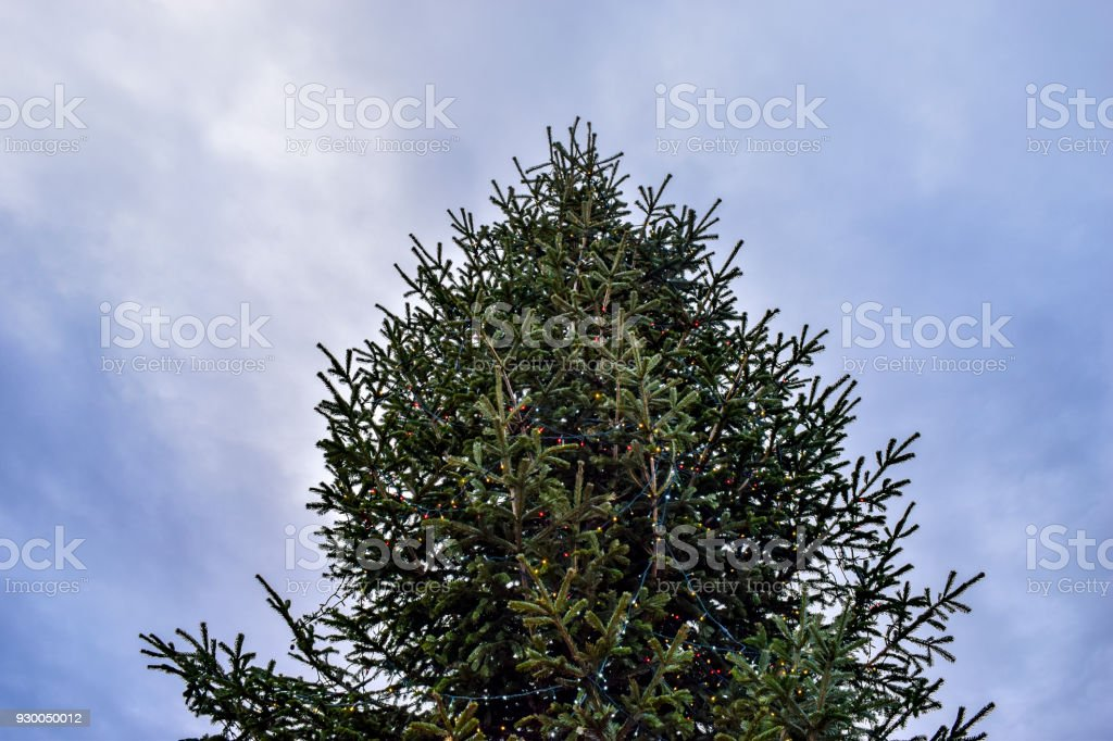 CU Christmas tree (fir tree), Clapham Common, London, UK royalty- - Cu Christmas Tree Clapham Common London Uk Stock Photo & More