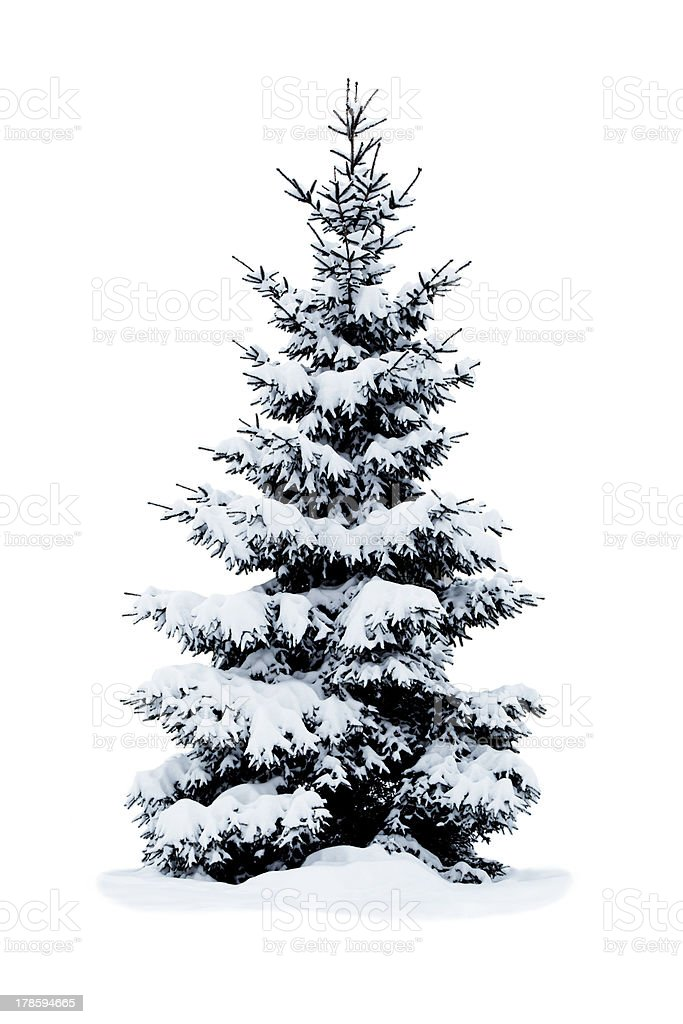 Christmas tree covered with snow isolated on white background. stock photo