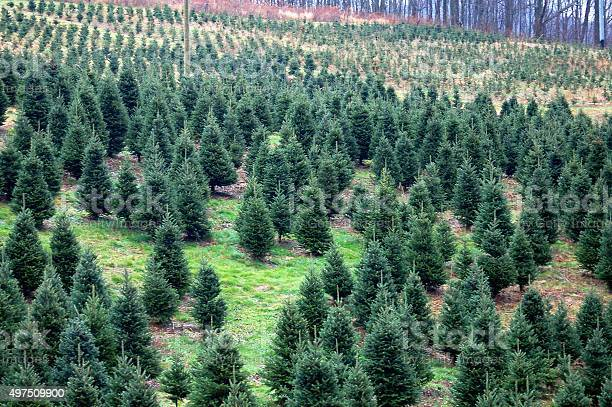 Christmas tree farm across mountain and waiting for cutting