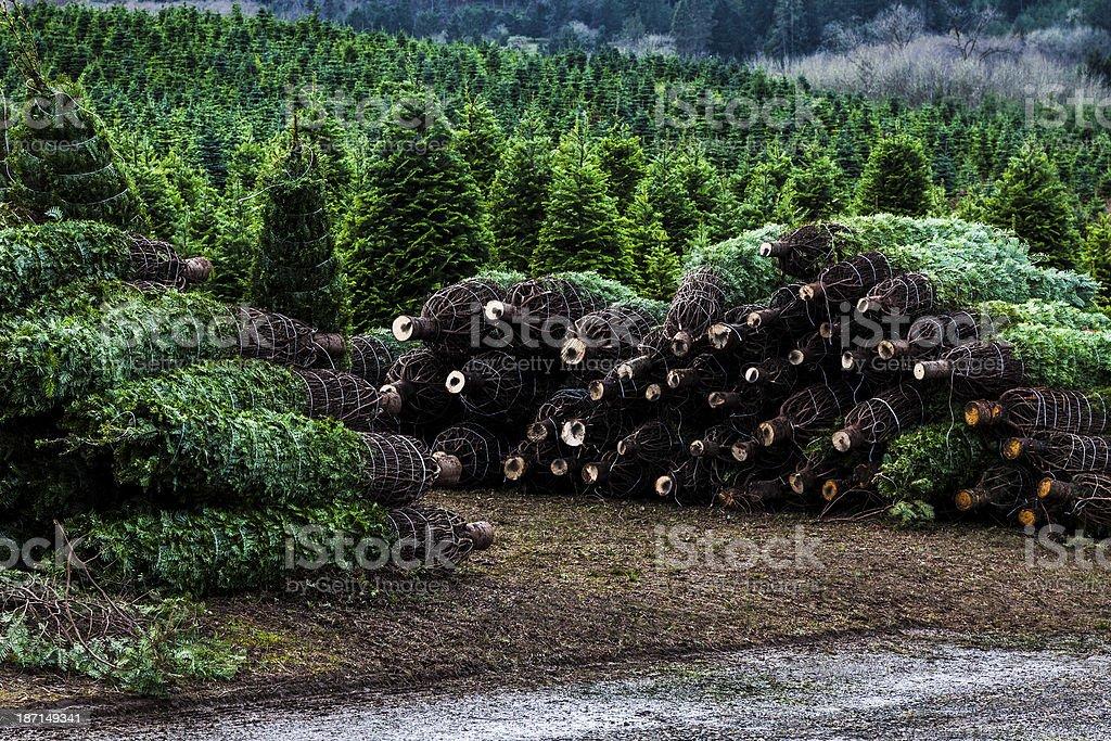 Christmas Tree Farm Cut Row Ready stock photo