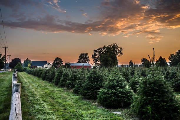 Sapin de Noël de la ferme au lever du soleil - Photo
