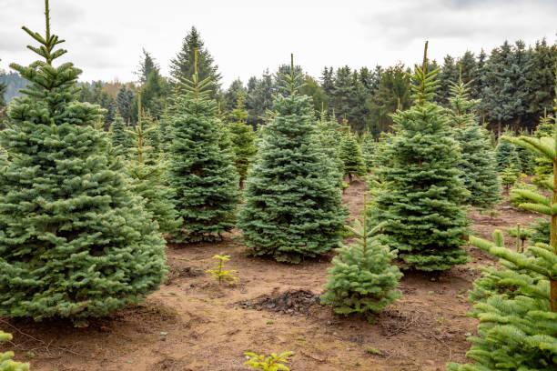 Christmas Tree Farm en début de matinée dans la saison d'automne 1 - Photo