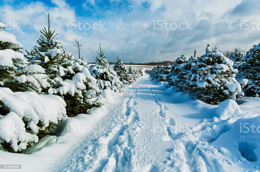 Christmas Tree Farm in the snow stock photo