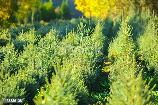 Pine trees growing on a tree farm.