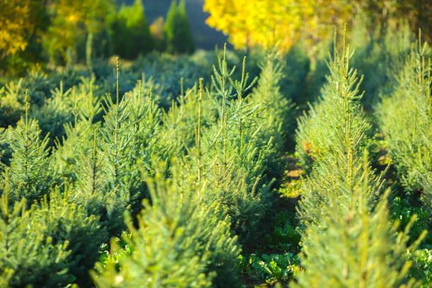 kerstboom boerderij - herbebossing stockfoto's en -beelden