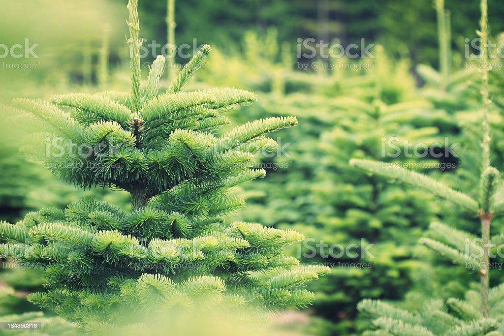 Christmas Tree Farm – Foto