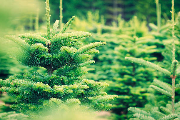 Christmas Tree Farm – Foto