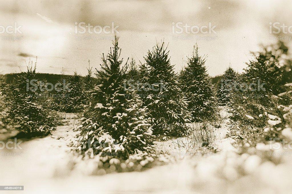 Christmas tree farm - sepia-toned royalty-free stock photo