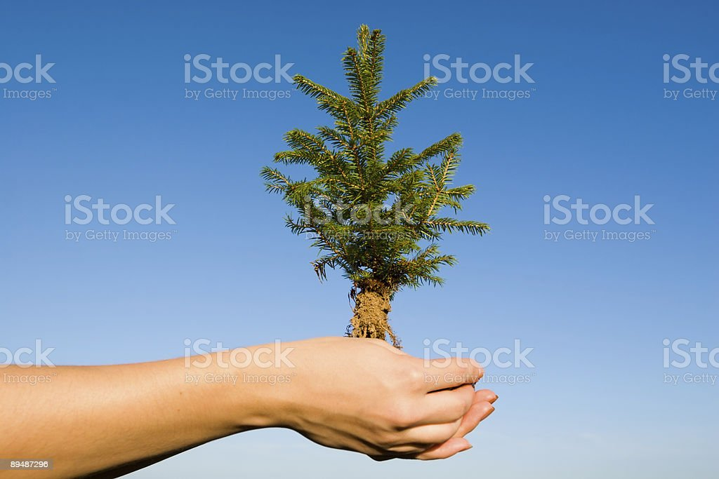 christmas tree - fir royalty-free stock photo