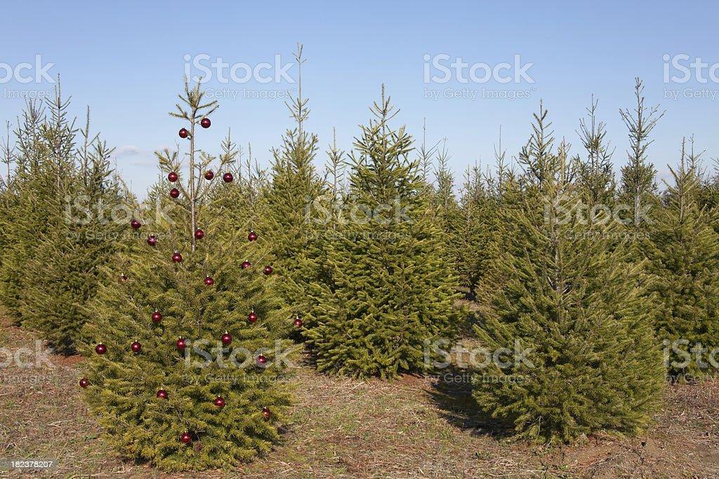 Christmas Tree in Field stock photo