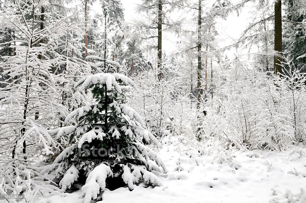 Christmas tree in nature royalty-free stock photo