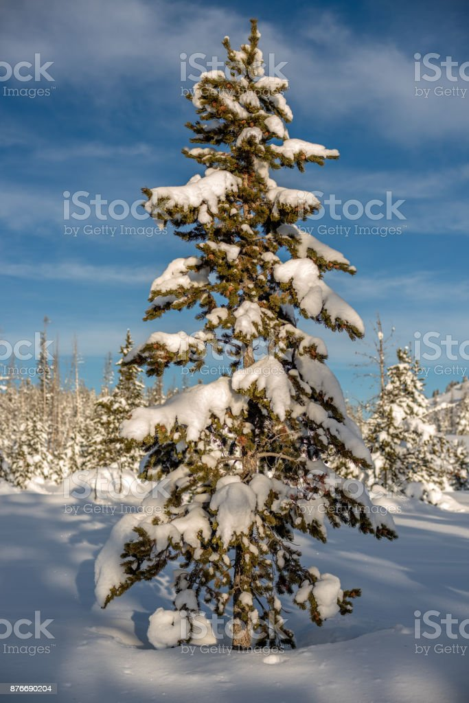 Christmas tree in nature with snow and blue sky stock photo