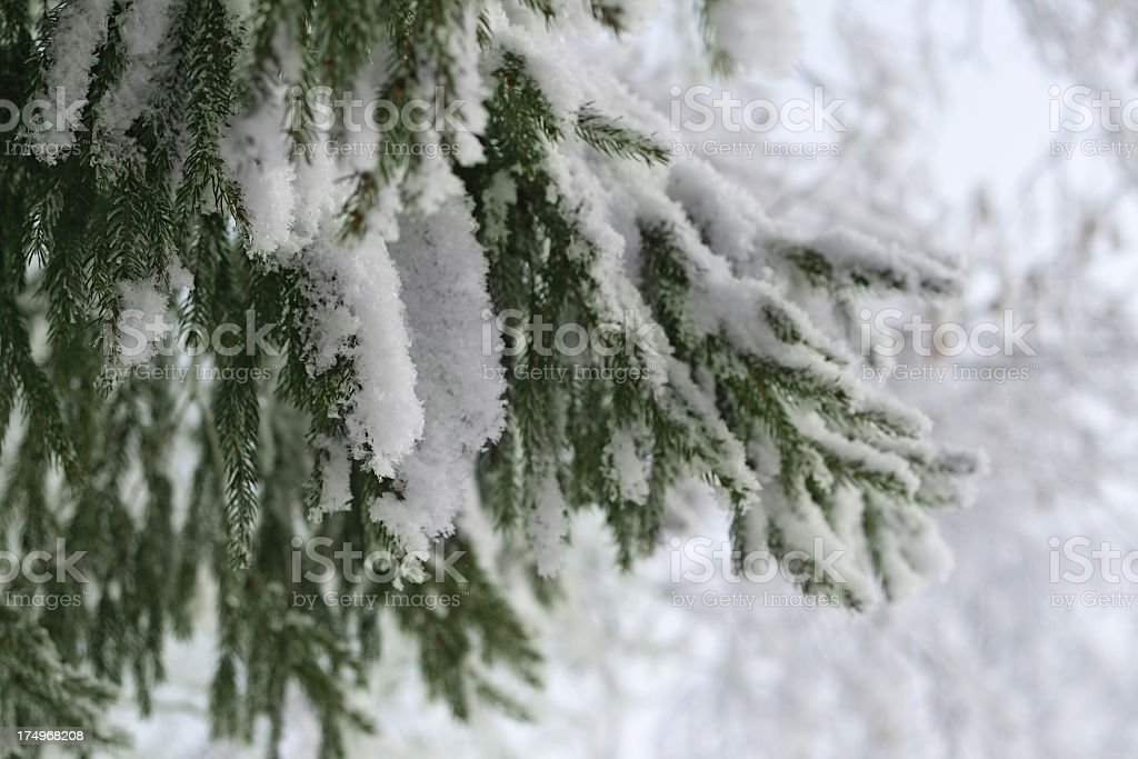 Christmas Tree In Snow royalty-free stock photo