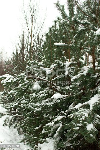 875265254 istock photo Christmas tree in the woods in the snow 621274978
