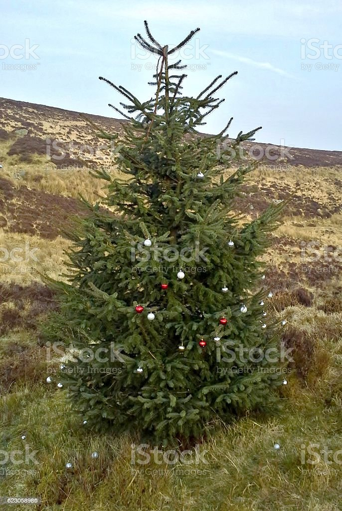 Christmas Tree in Turf Bog, Sally Gap, County Wicklow 1 stock photo