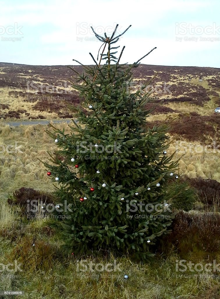Christmas Tree in Turf Bog, Sally Gap, County Wicklow 2 stock photo