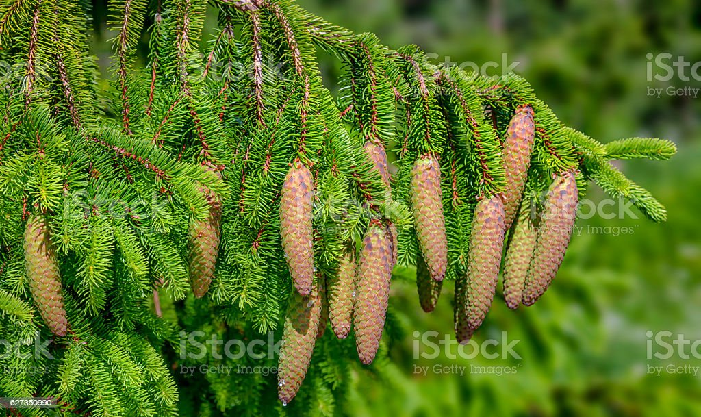 Christmas Tree - Norway spruce (Picea abies) stock photo