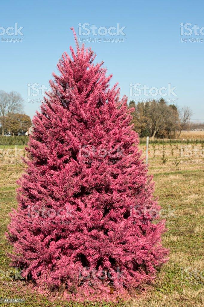 Christmas Tree Farm Arizona.Christmas Tree Painted A Strange Pink Color At Christmas