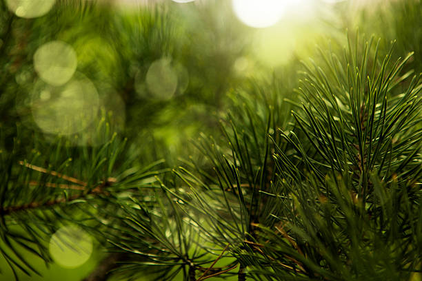christmas tree - pine tree stock photos and pictures