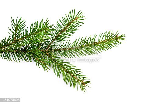Christmas tree branch on white.