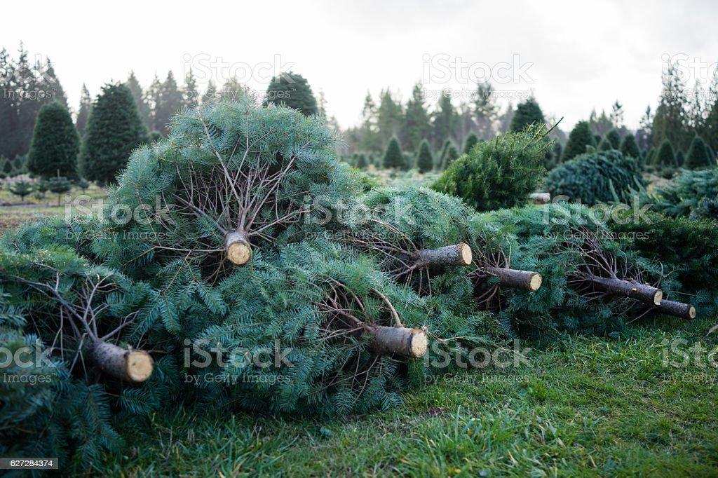 Christmas Tree Pile stock photo