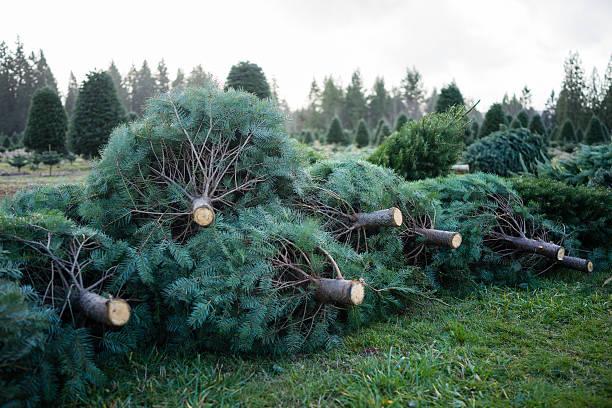 Christmas Tree Pile - Photo