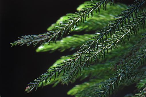 Kerstboom Naaldboom Stockfoto en meer beelden van Boom