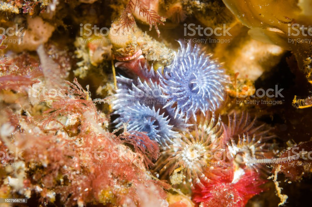 Christmas Tree Worm Stock Photo More Pictures Of Animal Istock