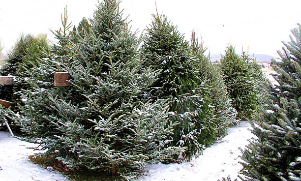christmas trees for sale stock photo - Christmas Tree For Sale