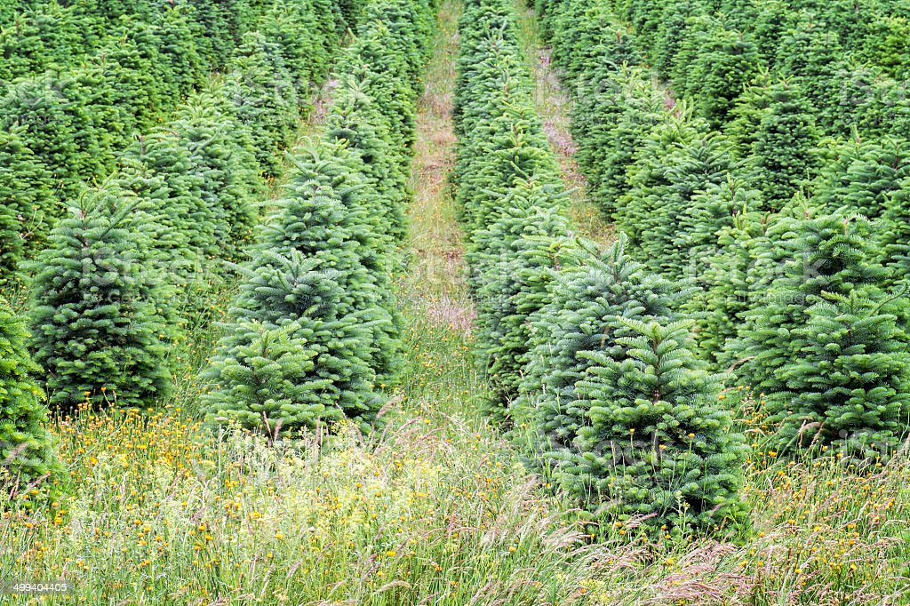 Christmas Trees Growing in Oregon's Willamette Valley stock photo