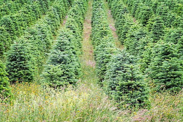 Arbres de Noël dans l'Oregon, la croissance de la vallée de Willamette - Photo