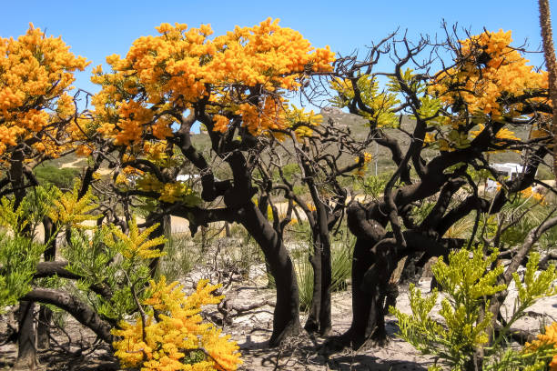 Weihnachtsbäume in voller Blüte, Cape le Grand National Park – Foto