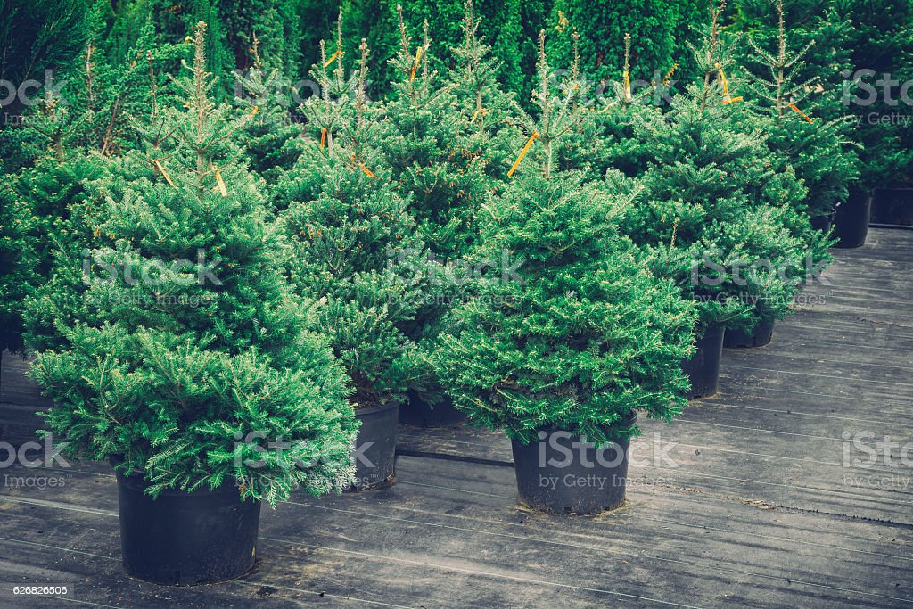 Christmas Trees In Pots For Sale Retro Toned Stock Photo