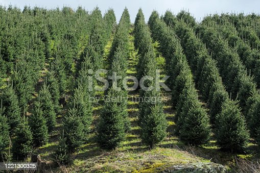 Christmas trees lined up in rows on the farm