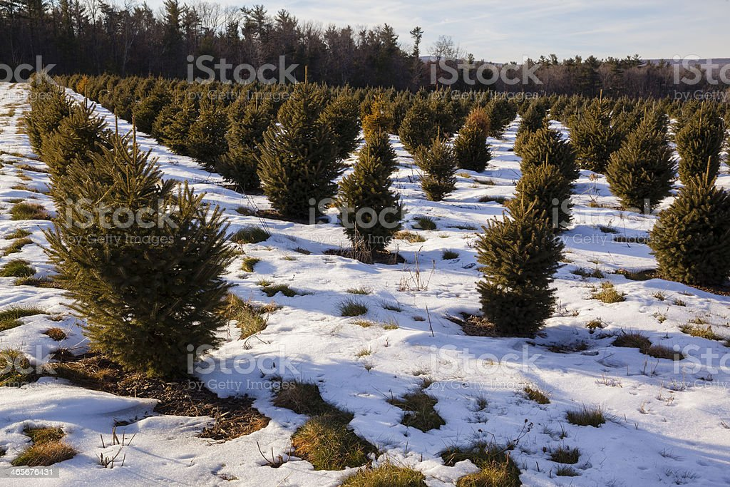Christmas Tree's Plantation in Winter Poconos royalty-free stock photo