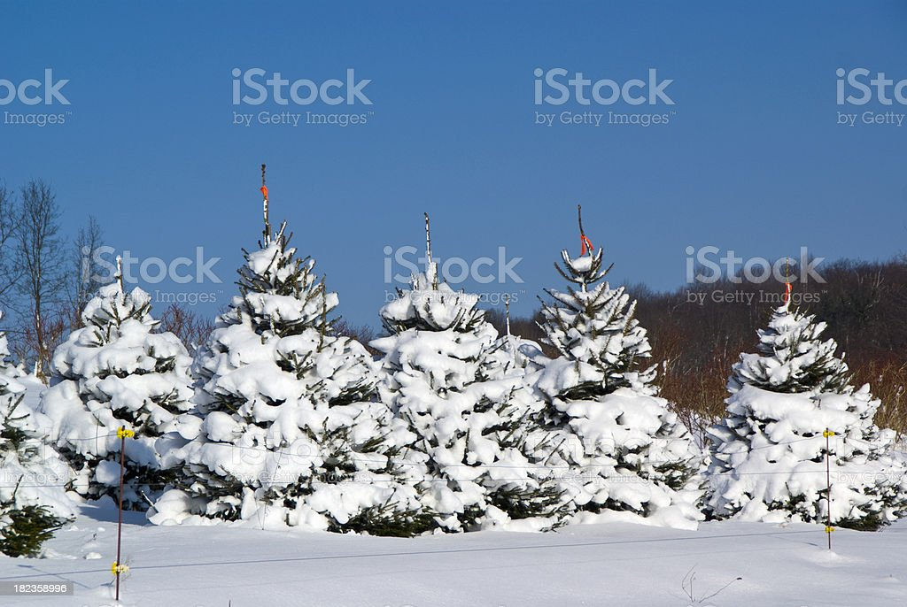 Christmas Trees Ready to Cut stock photo